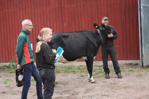 Kulturkvart om mjölkkor och frågvisa åhörare. Banläggaren Jan Lindgren, koexperten Ellinor Borgensvall och lantbrukaren och tillika kartritaren Johan Knutsson lyssnar till en fråga. Kossan heter Isabell.